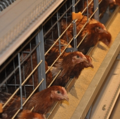 H Type Automatic Layer Chicken Cages